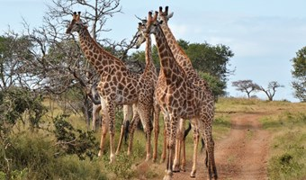 Giraffen In Manyoni Wildreservaat
