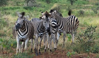 Zebra Familie In Manyoni Wildreservaat