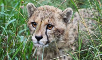 Cheeta Jongen In Manyoni Wildreservaat