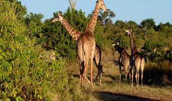 Giraffen In Chobe National Park