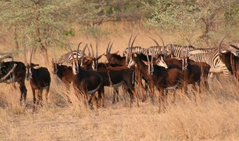 Sable Antilopen En Zebras In Mahangu