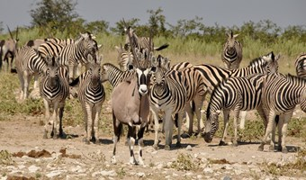 Wildleven In Etosha National Park