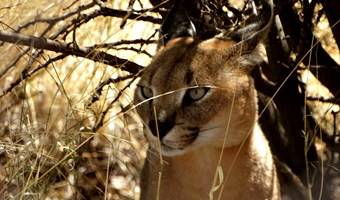Caracal In Namibië