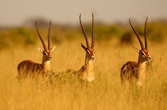 Gazelles In Tsavo