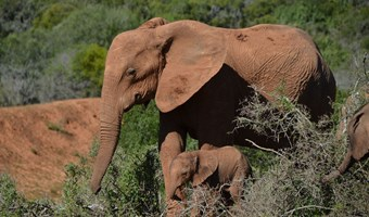 Olifant Moeder In Addo National Park