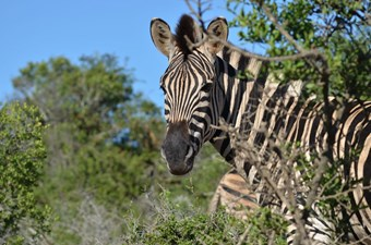 Zebra In Addo National Park