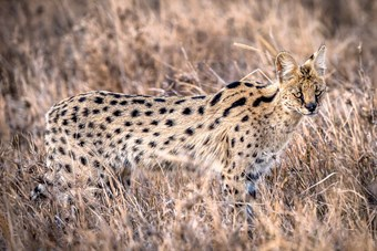 Civetkat In De Serengeti