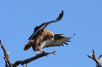 Jong Bateleur In Chobe National Park