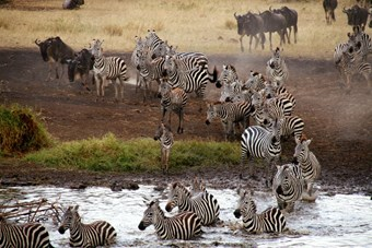 Zebra's in Serengeti National Park, Tanzania