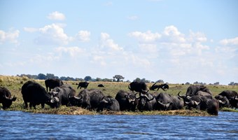 Buffels bij Chobe National Park