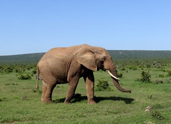 Olifant In Addo National Park