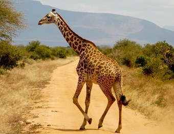 Giraffe In De Serengeti
